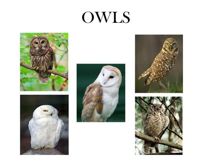 OWLS. Barred Owl Anatomy Habitat Food Sights & Sounds (Strix varia)
