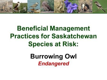 Beneficial Management Practices for Saskatchewan Species at Risk: Burrowing Owl Endangered.