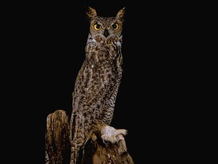 Great Horned Owl Bubo virginianus 1.Eukaryote 2.Nucleus in cells 3.Multicellular 4.No Cell Wall 5.Heterotroph 6.Motile 7.Sexual Reproduction.