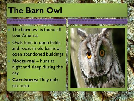 The Barn Owl The barn owl is found all over America