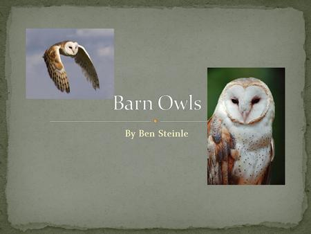 By Ben Steinle. COMMON NAME: barn owl, golden owl, white owl, monkey-faced owl KINGDOM: Animalia PHYLUM: Chordata CLASS: Aves ORDER: Strigiformes FAMILY: