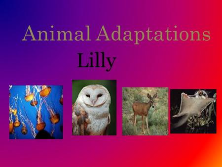 Animal Adaptations Lilly. Sugar Gliders They live in Australia. Adaptation 1: They have flaps of skin that connect their feet to their hands to help them.
