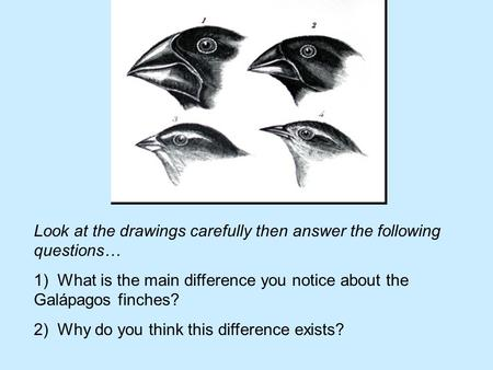 Look at the drawings carefully then answer the following questions… 1) What is the main difference you notice about the Galápagos finches? 2) Why do you.