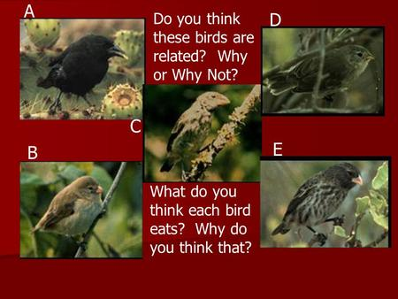 Do you think these birds are related? Why or Why Not? A B C D E What do you think each bird eats? Why do you think that?
