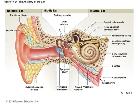 © 2015 Pearson Education, Inc. Figure 17-21 The Anatomy of the Ear External Ear Elastic cartilages Auricle External acoustic meatus Tympanic membrane Tympanic.
