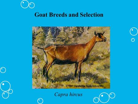 Goat Breeds and Selection Capra hircus. Major Breeds of Goats Alpine (French Alps) UMedium to large sized UUsually a stripe down the back Uall colors.
