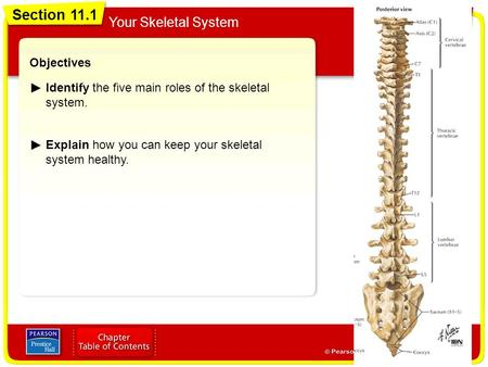 Section 11.1 Your Skeletal System Objectives