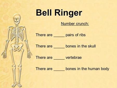 Bell Ringer Number crunch: There are _____ pairs of ribs There are _____ bones in the skull There are _____ vertebrae There are _____ bones in the human.