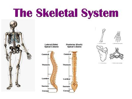 The Skeletal System. The Human Skeleton ● Made up of 206 bones ● Bones come in many different forms ● Many parts of the body are made up of several bones.
