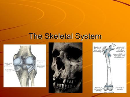 The Skeletal System. Overview Allows Movement SupportProtection Red Blood Cell Production Mineral Storage.