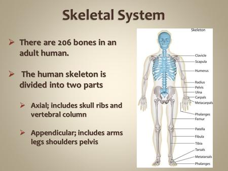  There are 206 bones in an adult human.  The human skeleton is divided into two parts  Axial; includes skull ribs and vertebral column  Appendicular;