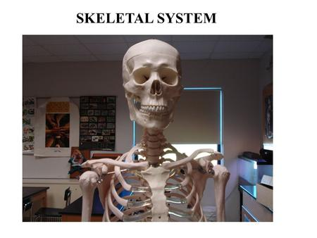 SKELETAL SYSTEM. Functions of the Skeletal System Bones are made of OSSEOUS TISSUE Support Protection Movement Blood cell formation (bone marrow) - hematopoeisis.