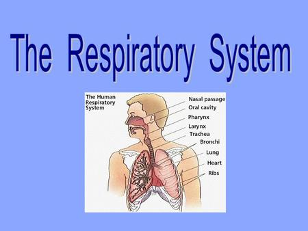 Function The respiratory system exchanges gases (oxygen and carbon dioxide) with the cardiovascular system.