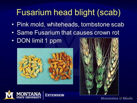 Fusarium head blight (scab) Pink mold, whiteheads, tombstone scab Same Fusarium that causes crown rot DON limit 1 ppm.