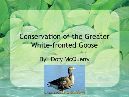 Conservation of the Greater White-fronted Goose By: Doty McQuerry.