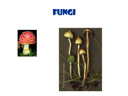 Fungi. Fungi 1 Fungi Basics Yeasts are single-celled fungi, so they are microbes. So is mold. Fungi are usually bigger than bacteria. If there is just.