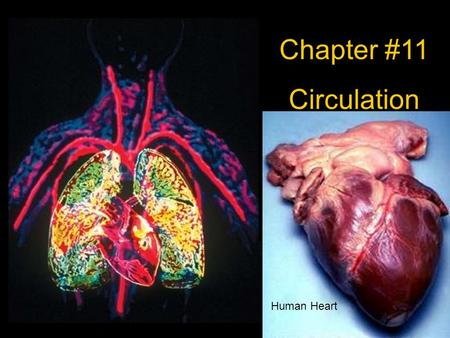 Chapter #11 Circulation Human Heart. Chapter 11.1 Notes Circulatory system- is made of your blood, blood vessels, and heart. Blood delivers oxygen, H.