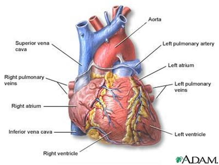 Location and Protection of the Heart