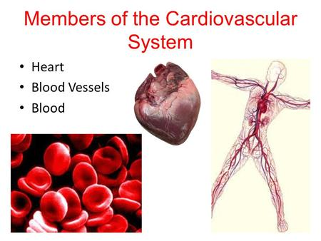 Members of the Cardiovascular System
