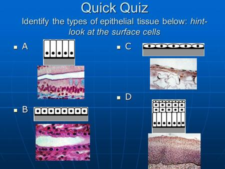 Quick Quiz Identify the types of epithelial tissue below: hint- look at the surface cells A B C D.