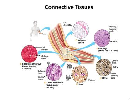 Connective Tissues 1. Connective tissues Introduction  Connective tissues provide structural support for other tissues and organs.  Connective tissues.
