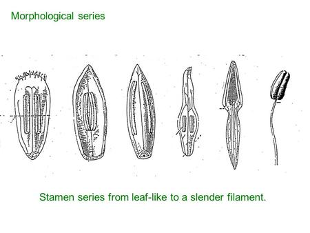 Stamen series from leaf-like to a slender filament. Morphological series.