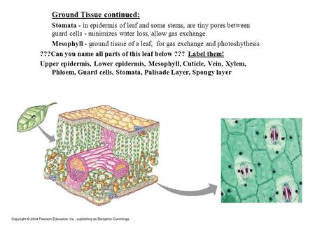 Ground Tissue continued: Stomata - in epidermis of leaf and some stems, are tiny pores between guard cells - minimizes water loss, allow gas exchange.