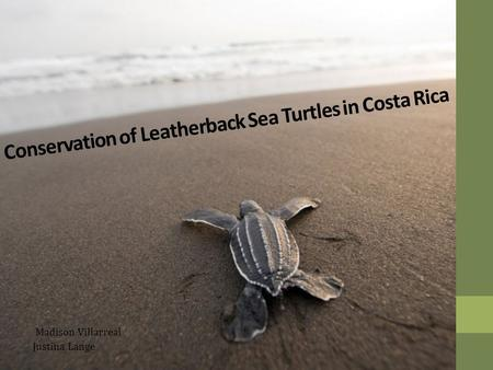 Conservation of Leatherback Sea Turtles in Costa Rica Madison Villarreal Justina Lange.