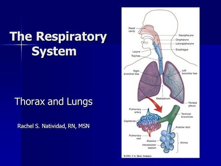 The Respiratory System Thorax and Lungs Rachel S. Natividad, RN, MSN.