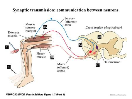 Synaptic transmission: communication between neurons.