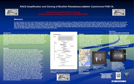 RACE-Amplification and Cloning of Bluefish Pomatomus saltatrix Cytochrome P450 1A. Abstract: Our study attempted to clone the entire bluefish Cytochrome.
