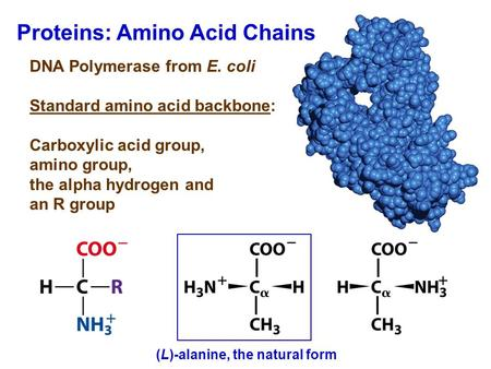 Proteins: Amino Acid Chains DNA Polymerase from E. coli Standard amino acid backbone: Carboxylic acid group, amino group, the alpha hydrogen and an R group.
