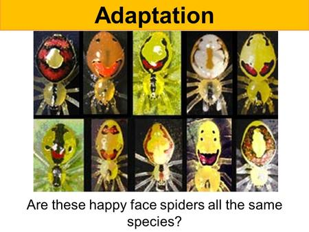Are these happy face spiders all the same species?