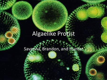 Algaelike Protist Savanna, Brandon, and Hunter. Plant like protists: Energy by photosynthesis = autotrophs All contain chlorophyll a but vary with accessory.