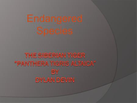 "The Siberian Tiger ""Panthera tigris altaica"" BY Dylan Devin"