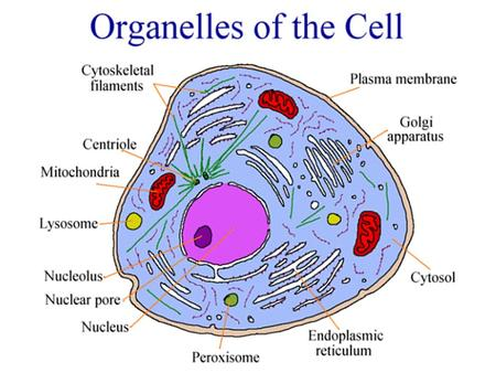 Contain digestive enzymes Found: Animal cells Jobs: 1) Autolysis: Destroy dying cell This lysosome is destroying a mitochondrion.