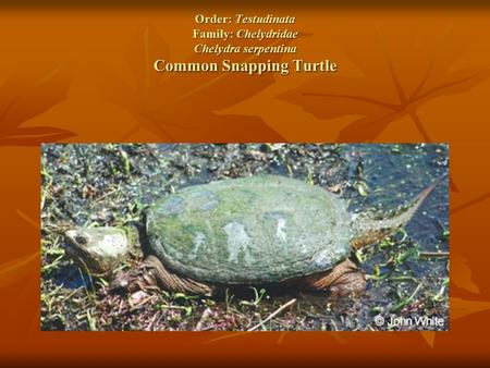 Order: Testudinata Family: Chelydridae Chelydra serpentina Common Snapping Turtle.