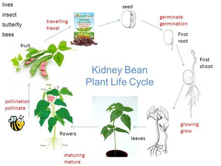 Seed First root germinate germination First shoot growing grow flowers fruit maturing mature leaves pollination pollinate travelling travel Kidney Bean.
