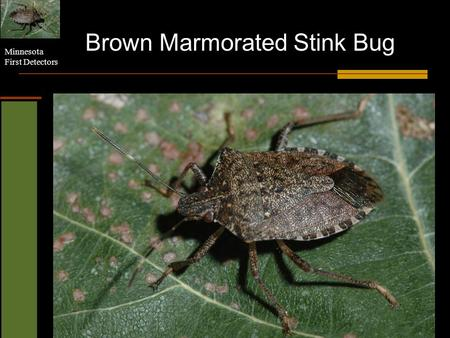 Minnesota First Detectors Brown Marmorated Stink Bug.