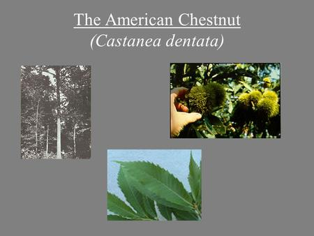 The American Chestnut (Castanea dentata). American Chestnut: Range Maine to Georgia and west to Ohio and Tennessee. (Braun, 1950) Commonly made up 25%