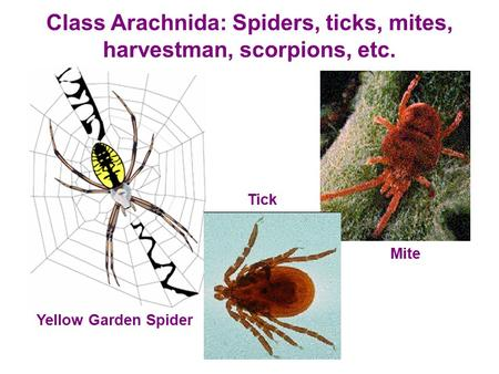 Class Arachnida: Spiders, ticks, mites, harvestman, scorpions, etc. Yellow Garden Spider Tick Mite.
