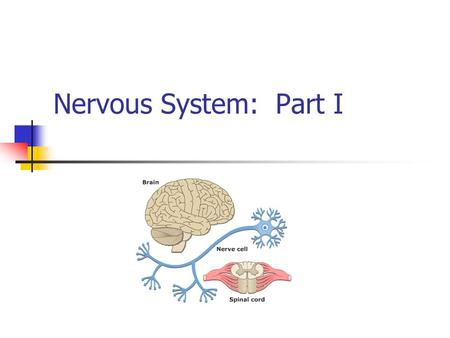 Nervous System: Part I. The Nervous System Your body's communication's network & control center Peripheral Nervous System (PNS)-gathers info from inside.