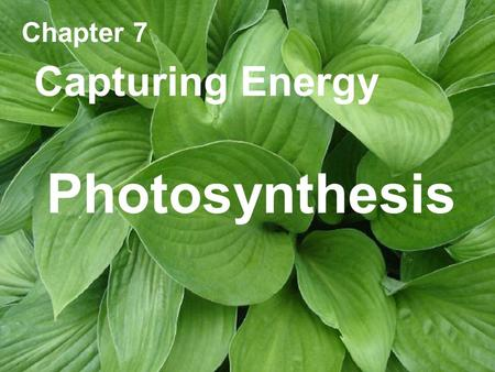 Chapter 7 Capturing Energy Photosynthesis.