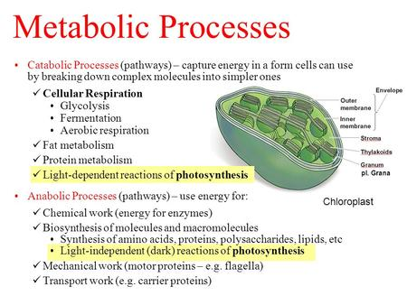 Chloroplast pl. Grana Catabolic Processes (pathways) – capture energy in a form cells can use by breaking down complex molecules into simpler ones Cellular.