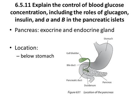 6.5.11 Explain the control of blood glucose concentration, including the roles of glucagon, insulin, and a and B in the pancreatic islets Pancreas: exocrine.