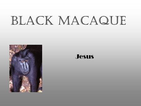 Black Macaque Jesus. Habitat Black Macaques live in rainforests Found in Sulawesi, Indonesia tropical.