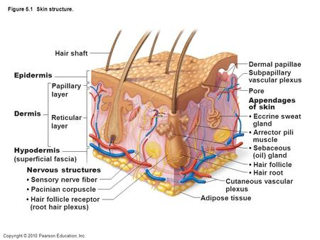 • Hair follicle receptor (root hair plexus) Adipose tissue