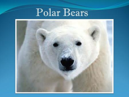 Polar Bears. It is the largest carnivore (meat eater) that lives on land.