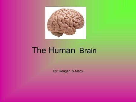 The Human Brain By: Reagan & Macy. The Bigger Brain Male Or Female? Men's brains are scientifically 10% bigger then a women's brain.