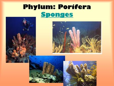 Phylum: Porifera Sponges Sponges. Characteristics 1.Simplest animals 2.Multicellular 3.No organs, tissues, or body systems 4.Asymmetry (some radial symmetry)